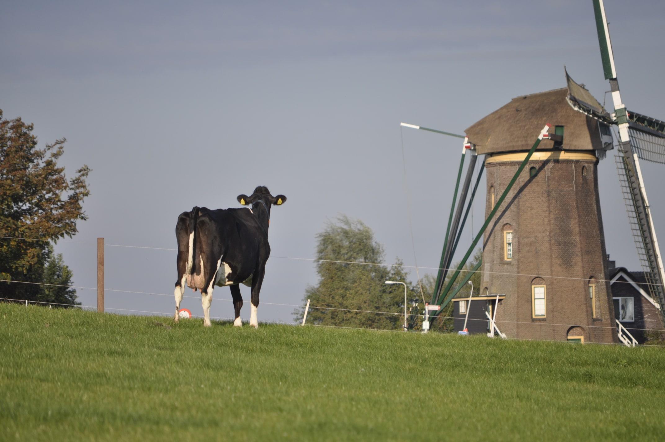 Koe voor de molen